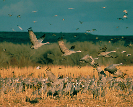 Cranes take advantage the habitat provided by the Platte River Project during their annual migration.