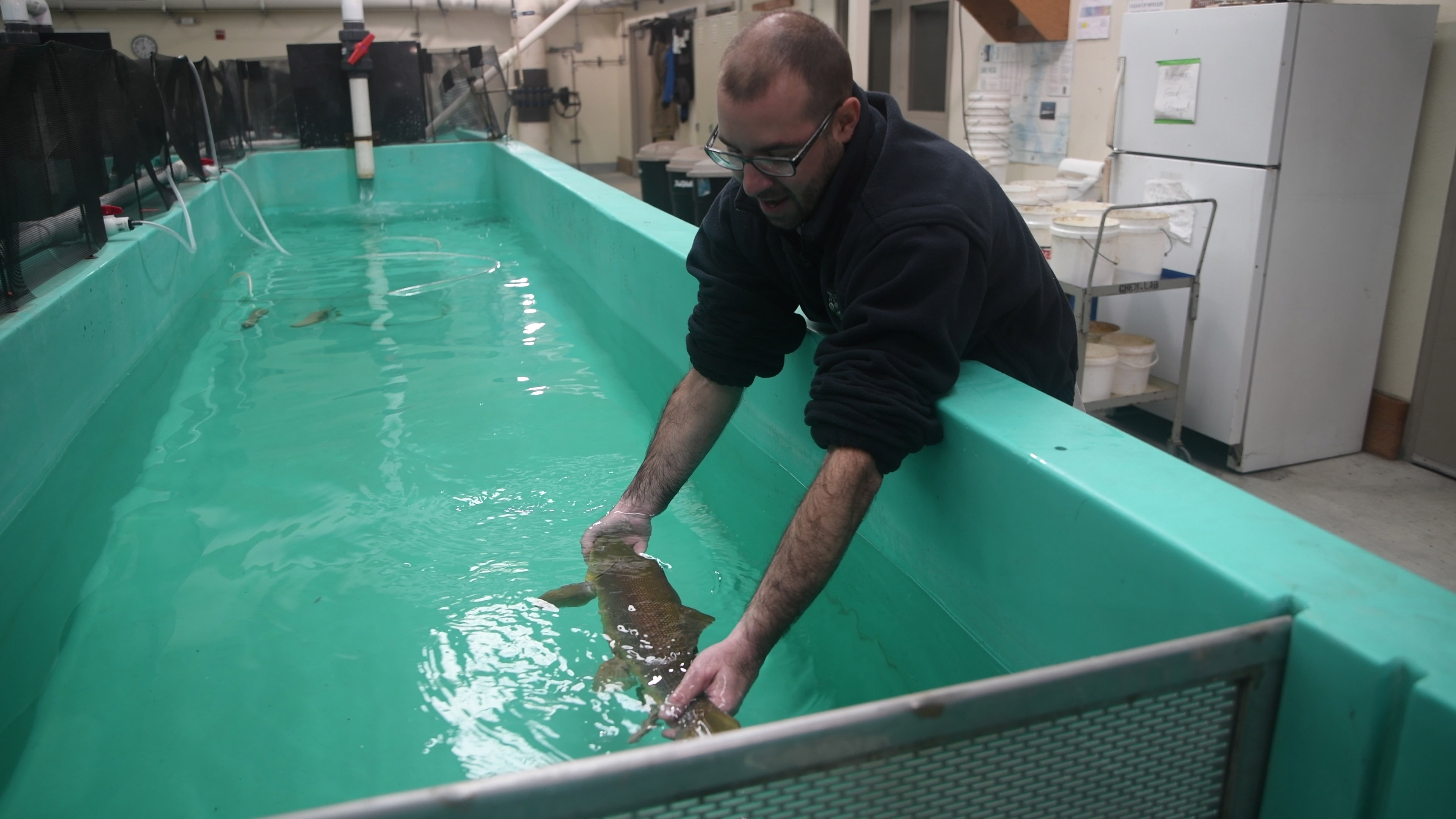An endangered razorback sucker is placed in a recovery tank following a non-lethal fin ray sampling procedure. Photograph provided by Jamel Carry, Photographer, Lower Colorado Region.