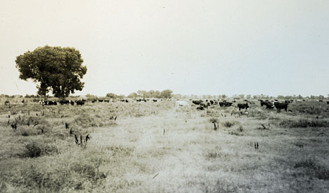Alfalfa fields were common throughout the valley, and milk cows were another part of the valley economy.  (Reclamation photograph)