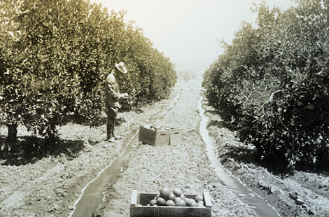 Citrus orchards dotted the valley once a reliable water supply was assured with the completion of Roosevelt Dam. (Reclamation photograph)