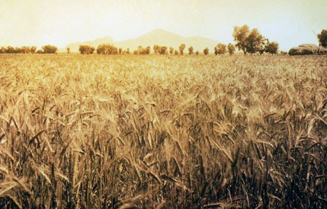Amber waves of grain with Camelback Mountain on the horizon. (Reclamation photograph)