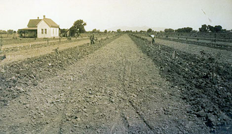 This sugar beet field was located in Glendale. Russian immigrants familiar with growing sugar beets were hired to tend the fields. (Reclamation photograph)