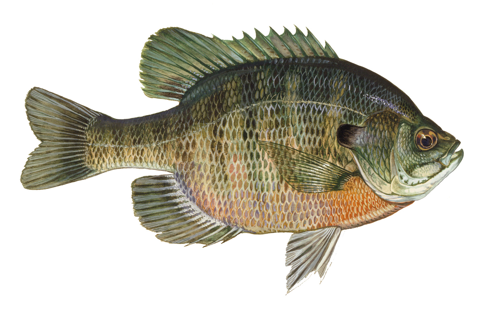 Fish species new melones for Blue gill fishing