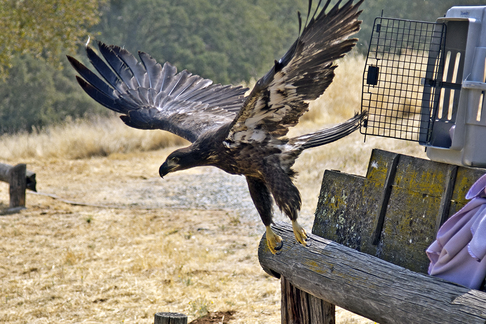 Rescued bald eagle released at New Melones Reservoir Aug. 25, 2018 (Photo by Pat Sanders)