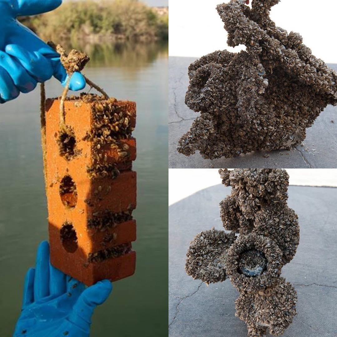 Invasive mussels colonizing on various items.