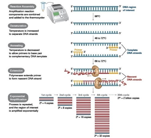Conventional PCR components and process showing the steps. Source: New England Biolabs.