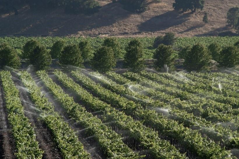 Irrigated vineyard located in the Dunnigan Hills near Woodland, California.