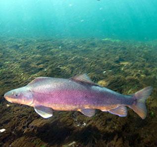 Colorado river storage project uc region bureau of for Colorado fish species